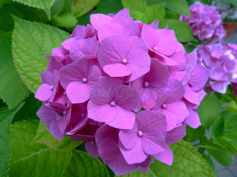 Cierre rosado floreciente fresco hermoso de la hortensia para arriba con el fondo borroso imagen de archivo libre de regalías