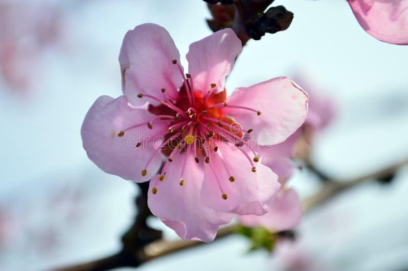 Cierre rosado hermoso de la flor del melocotón para arriba foto de archivo