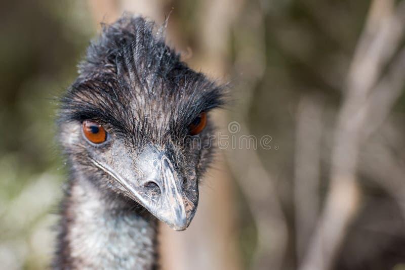 Cierre salvaje del emú encima del retrato foto de archivo