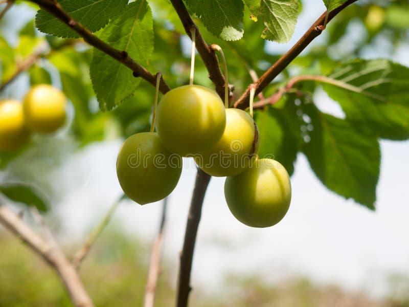 Cierre salvaje que crece a Gage Plums en árbol foto de archivo libre de regalías