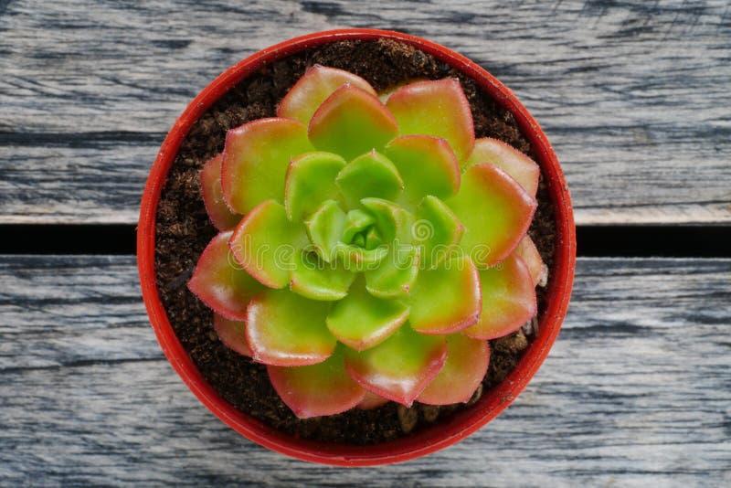 Cierre suculento verde de la visión superior y rojo lindo de la planta para arriba en fondo de madera de la tabla foto de archivo
