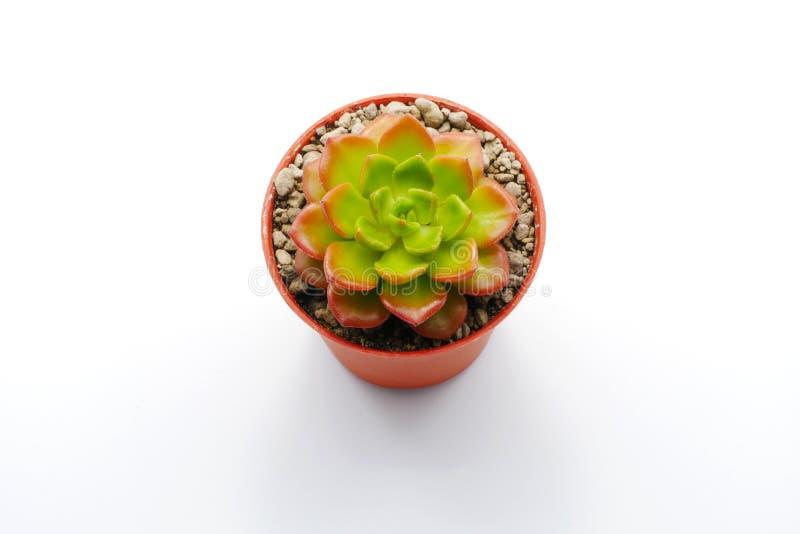 Cierre suculento verde y rojo de la planta para arriba aislado en el fondo blanco imagen de archivo