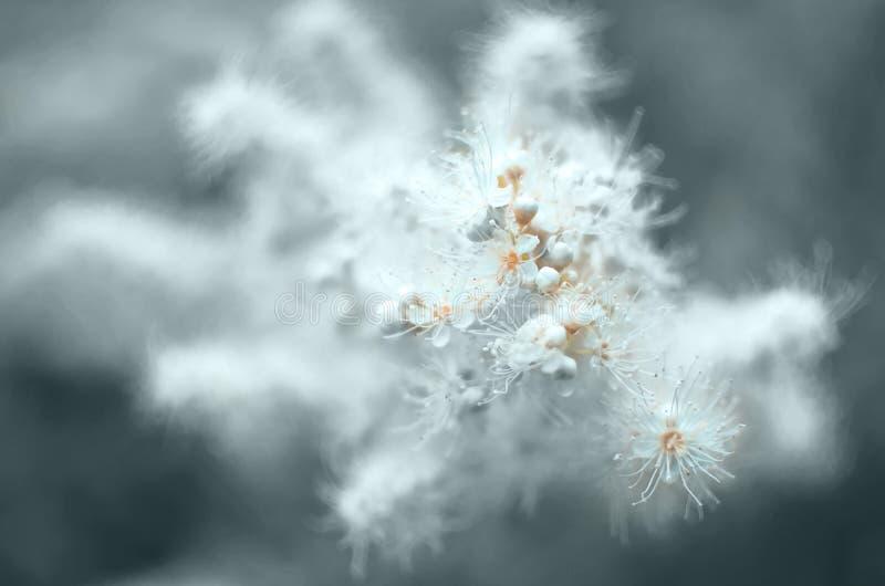 Cierre teñido de la inflorescencia del Spiraea para arriba del foco estrecho en el primero plano foto de archivo libre de regalías