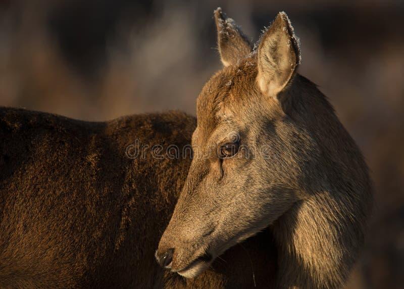Cierre trasero de los ciervos comunes encima del retrato fotografía de archivo libre de regalías