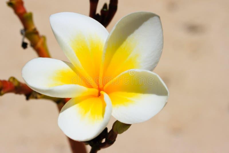 Cierre tropical blanco de la flor para arriba imagen de archivo