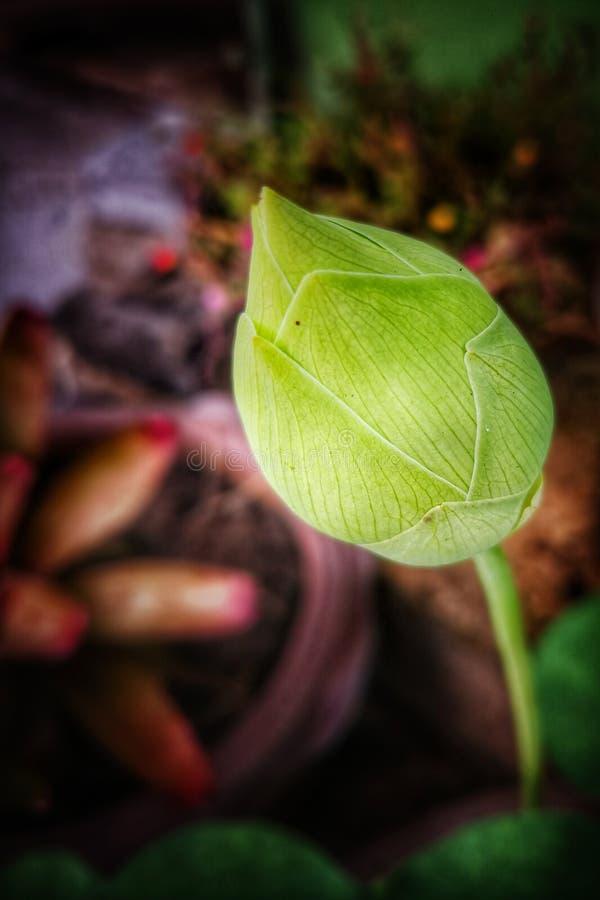Cierre verde del brote de flor de loto para arriba imagenes de archivo