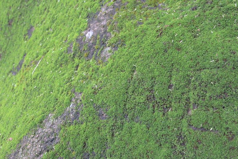 Cierre verde del MOS encima del MOS verde en piedra imagenes de archivo