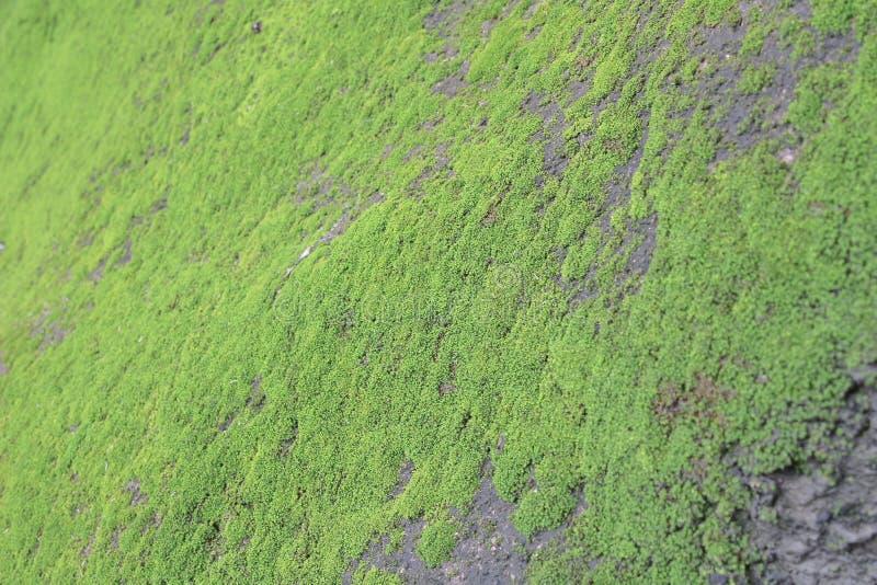 Cierre verde del MOS encima del MOS verde en piedra fotografía de archivo