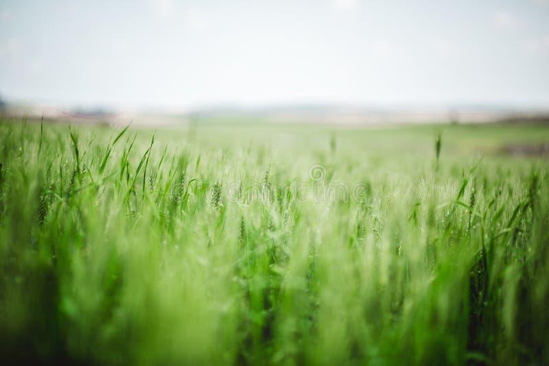 Cierre verde del trigo para arriba en resorte fotos de archivo