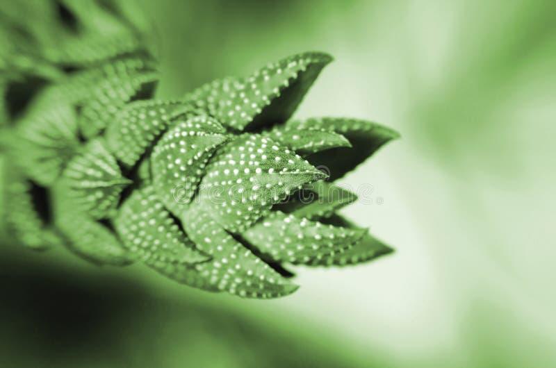 Cierre verde ornamental del cactus para arriba en un fondo borroso imagen de archivo libre de regalías