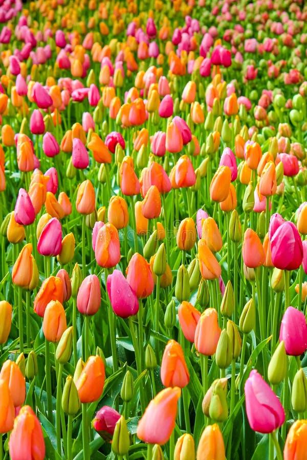 Cierre vertical encima de la imagen que captura tulipanes coloridos hermosos Las flores del tulipán son principalmente rosadas y  imagenes de archivo