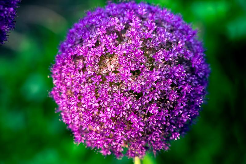 Cierre violeta gigante encima de la floración de la flor de Giganteum del allium de la cebolla imagen de archivo libre de regalías