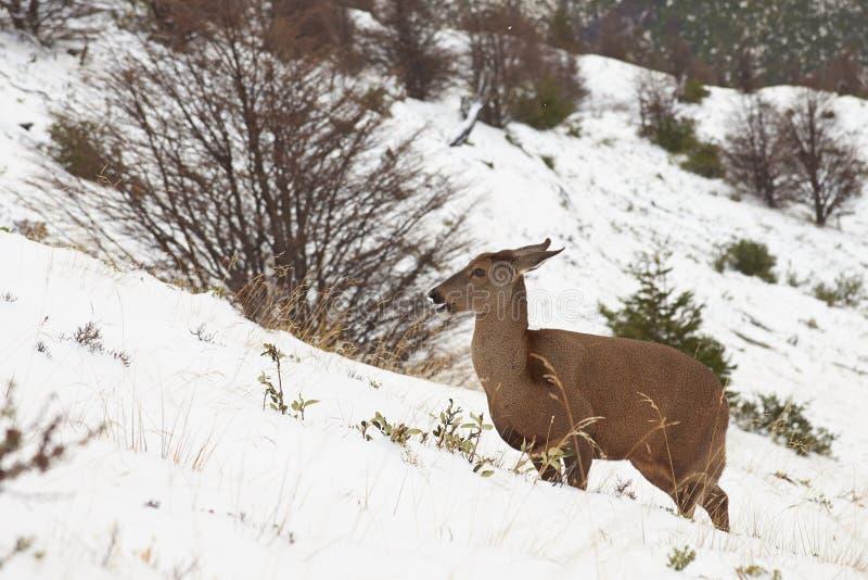 Ciervos andinos del sur fotografía de archivo
