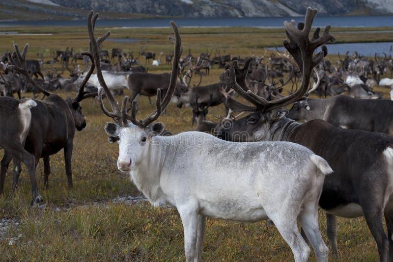 Ciervos blancos en manadas grandes fotos de archivo