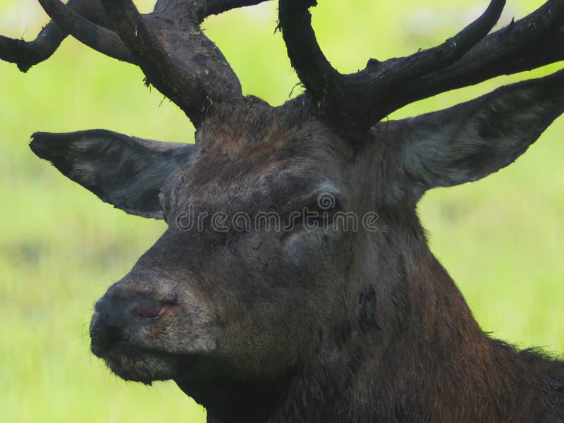 Ciervos comunes con los trofeos grandes de los cuernos para los cazadores imagen de archivo