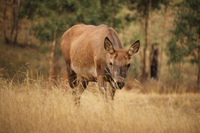 Ciervos comunes femeninos en la hierba imagenes de archivo