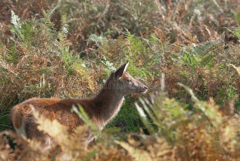 Ciervos comunes femeninos que ocultan en helecho fotografía de archivo libre de regalías