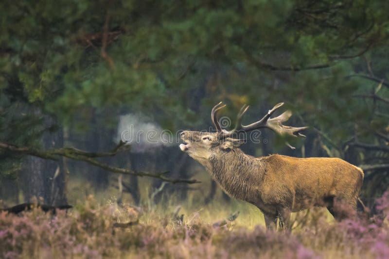 Ciervos comunes masculinos en celo foto de archivo libre de regalías