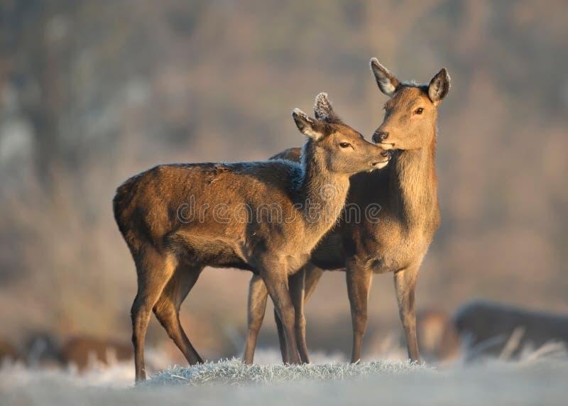 Ciervos comunes traseros con un becerro en invierno fotografía de archivo
