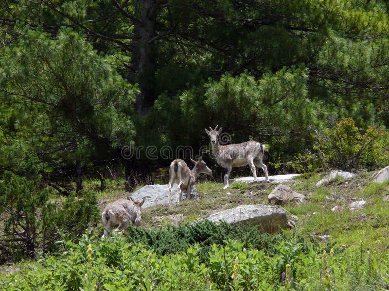 Ciervos de almizcle raros en un bosque Himalayan del pino imagen de archivo