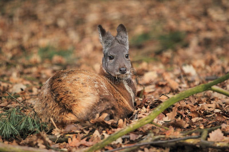 Ciervos de almizcle siberianos imagen de archivo libre de regalías
