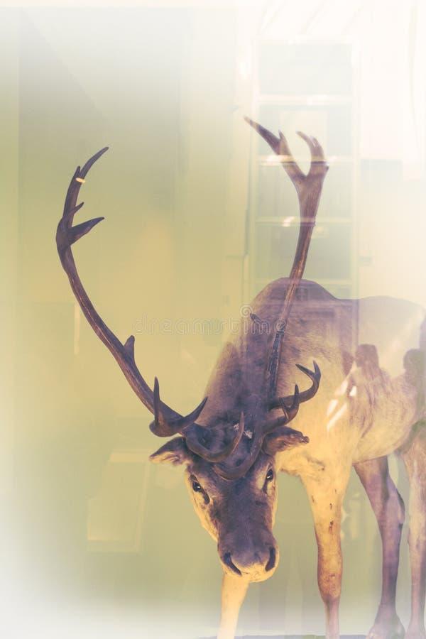Ciervos de Beautifiul, imagen artística, museo nacional de la historia en Londres, Reino Unido imágenes de archivo libres de regalías