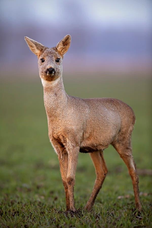 Ciervos de huevas, capreolus del capreolus, gama que camina en un campo con fango en el enganche fotografía de archivo libre de regalías