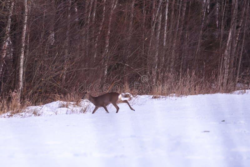 Ciervos de huevas en campo nevado cerca del bosque fotos de archivo libres de regalías