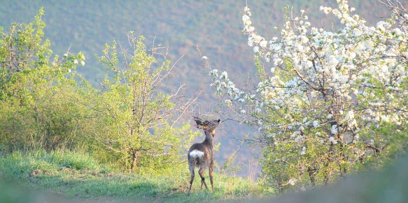 Ciervos de huevas en primavera fotos de archivo libres de regalías