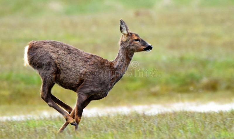 Ciervos de huevas que corren el al frente Spurn imagen de archivo