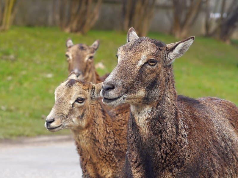 Ciervos de Mouflon foto de archivo libre de regalías