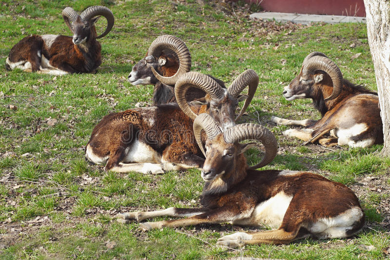 Ciervos de Mouflon imágenes de archivo libres de regalías