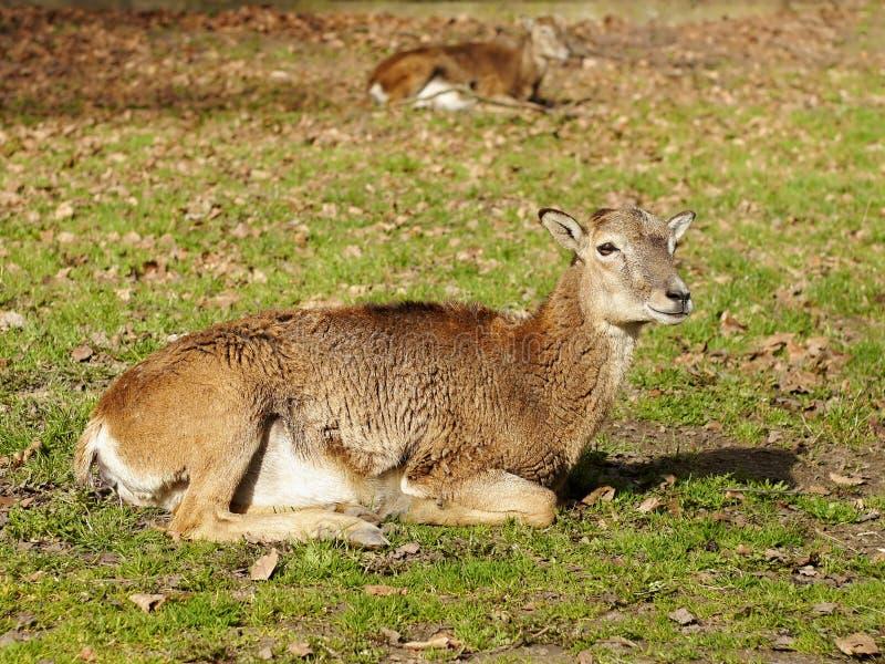 Ciervos de Mouflon fotografía de archivo