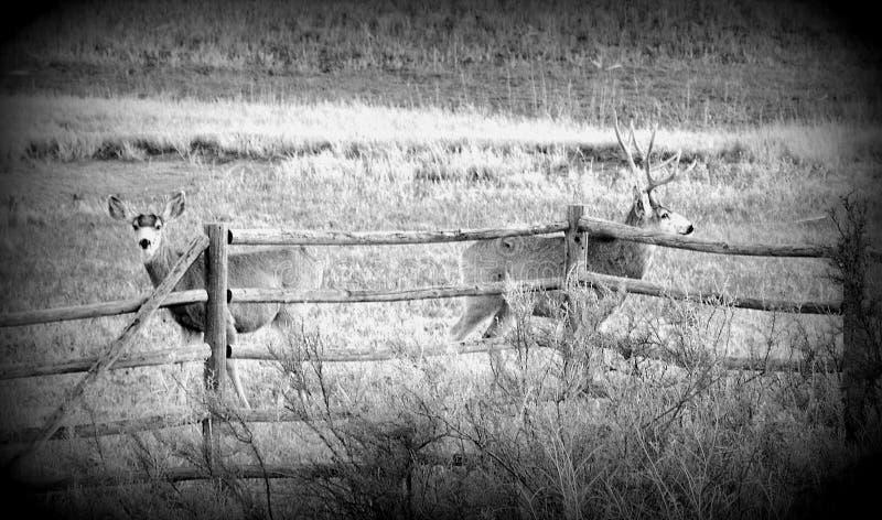 Ciervos de mula fotos de archivo