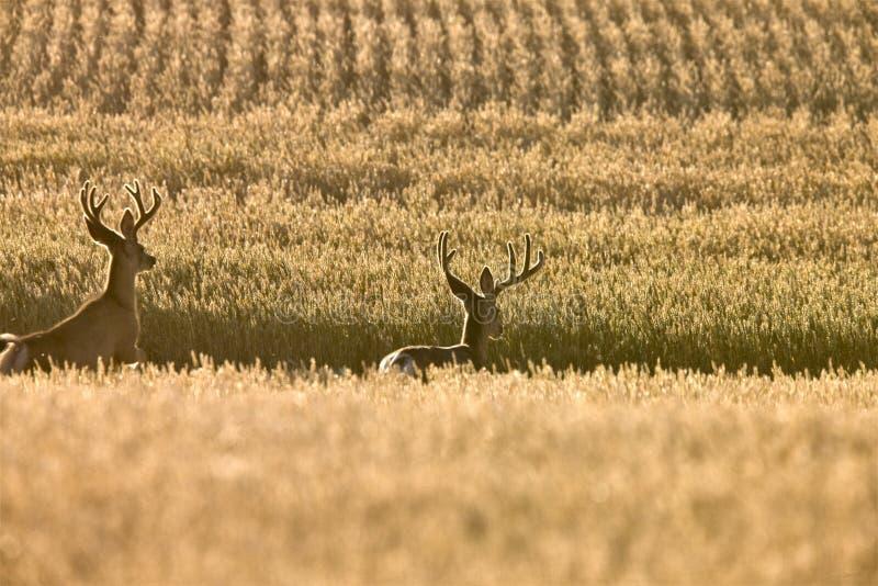 Ciervos de mula en campo de trigo fotografía de archivo