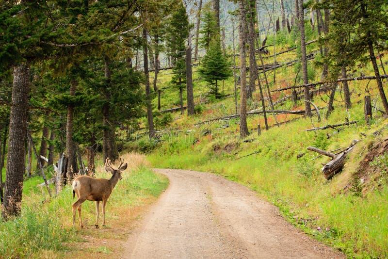 Ciervos de mula en el camino fotos de archivo libres de regalías