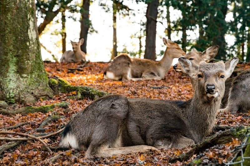 Ciervos de Nara que se relajan durante puesta del sol imagenes de archivo