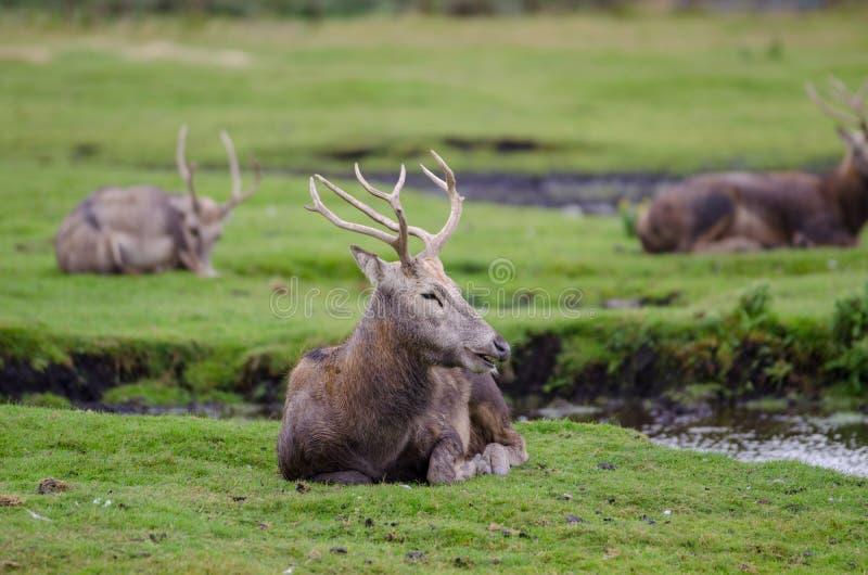 Ciervos de Pere Davids que se relajan en un banco herboso al lado de una pequeña corriente fotografía de archivo libre de regalías