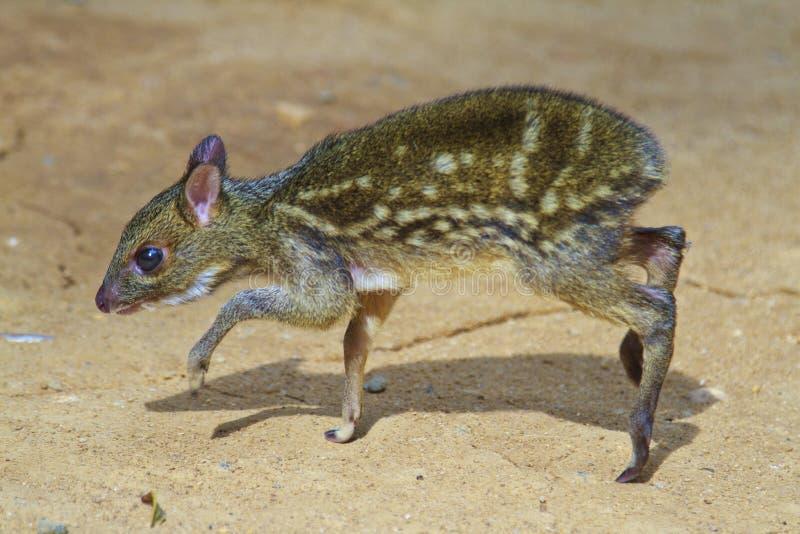 Ciervos de ratón del bebé fotos de archivo libres de regalías