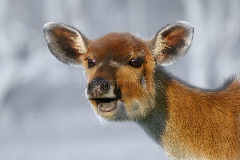 Ciervos de risa foto de archivo libre de regalías