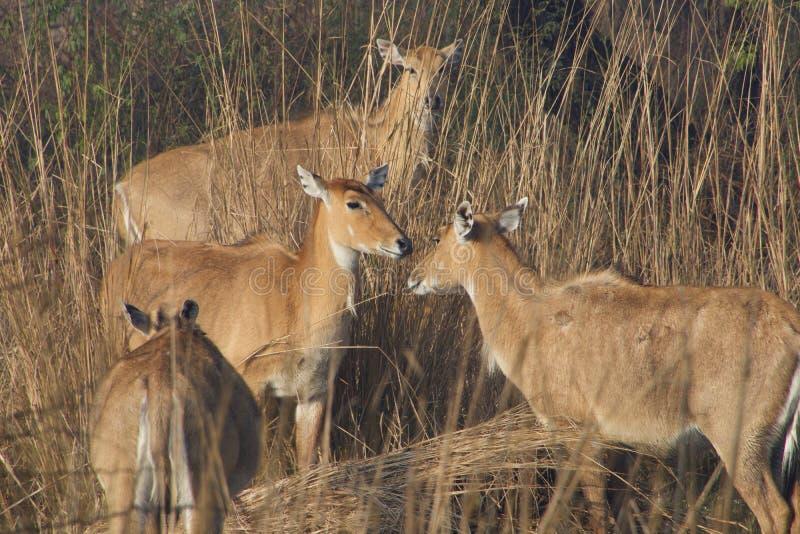 Ciervos de Sambhar en santuario de fauna foto de archivo