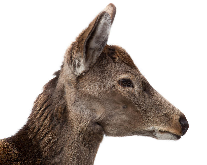 Ciervos de Sika, Cervus nipón fotografía de archivo