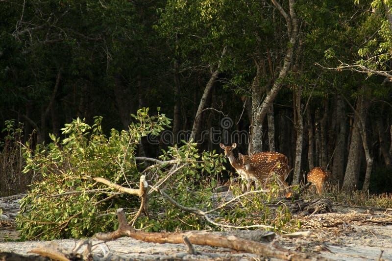 Ciervos de Sundarban fotos de archivo