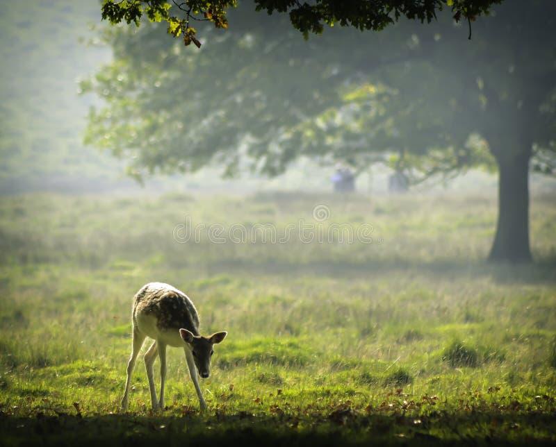 Ciervos del bebé en la luz del sol de la madrugada fotos de archivo libres de regalías