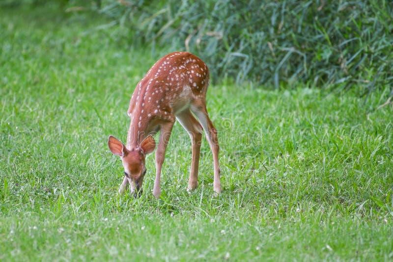 Ciervos del cervatillo del Whitetail que comen la hierba fotografía de archivo libre de regalías