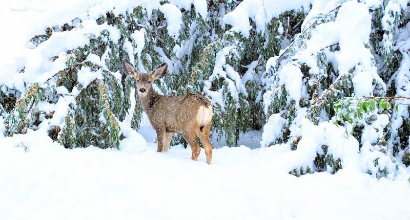 Ciervos del día de fiesta de la Navidad. fotografía de archivo libre de regalías