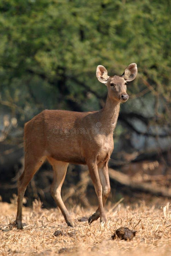 Ciervos del Sambar imagen de archivo