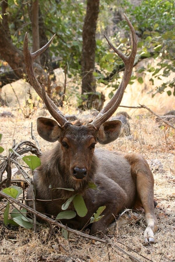 Ciervos del Sambar fotos de archivo libres de regalías