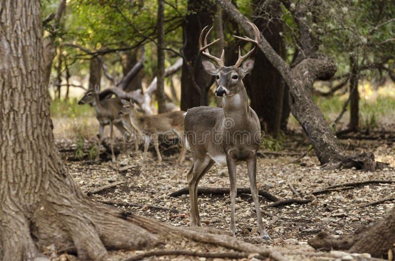 Ciervos detrás del árbol imagen de archivo libre de regalías