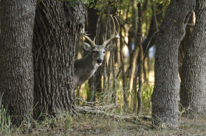 Ciervos detrás del árbol imagenes de archivo